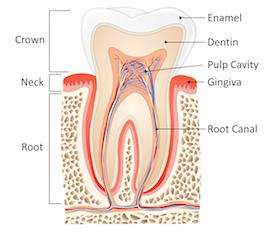 Root Canal Description | Barrie ON Dentist