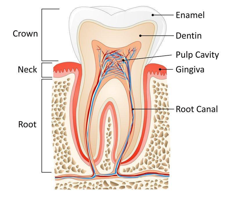 Diagram of tooth and roots | Dentist Barrie ON