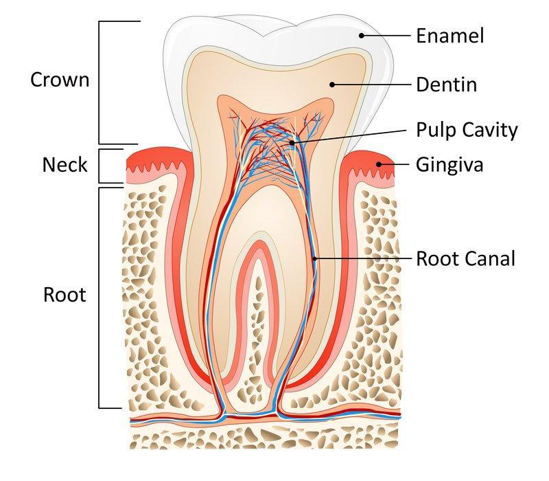Diagram of tooth | Dentist Barrie ON